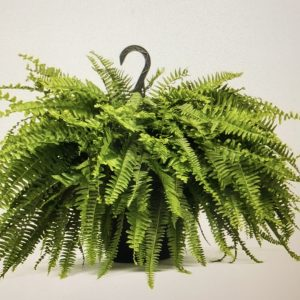 Boston Fern Basket